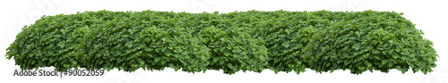 Foto Green fresh ornamental wild hedge isolated on white background