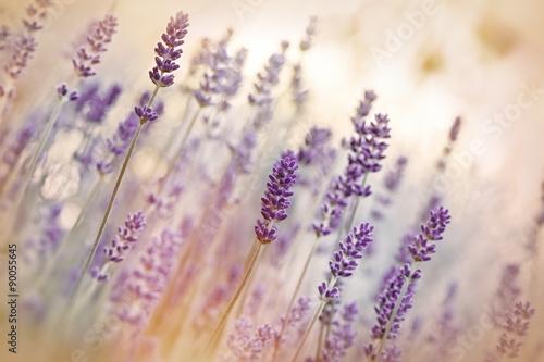 Fototapeta Lavender flower obraz na płótnie