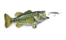 Largemouth Bass Chasing Lure I...