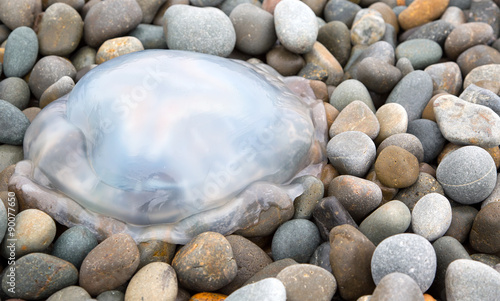 Barrel jellyfish stranded on a stony beach #90077650