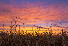Cornfield And Sunset Sky