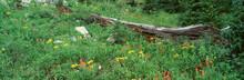 Log Amid Alpine Flowers, Ouray...
