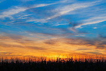 Maize At Sundown
