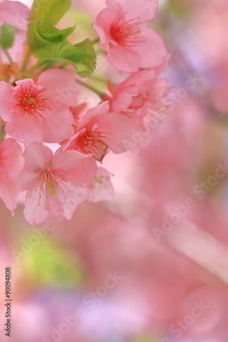 In de dag Candy roze 満開の椿寒桜
