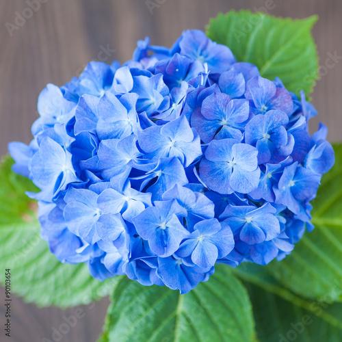 Wall Murals Hydrangea Blue Hydrangea macrophylla flower on wood table