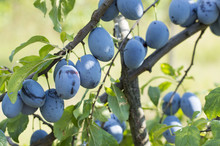 Plum Tree With Fruits Growing In The Orchad