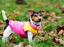 Autumn Portrait Of A Dog Wearing A Coat
