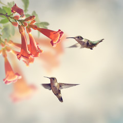 FototapetaRuby Throated Hummingbirds