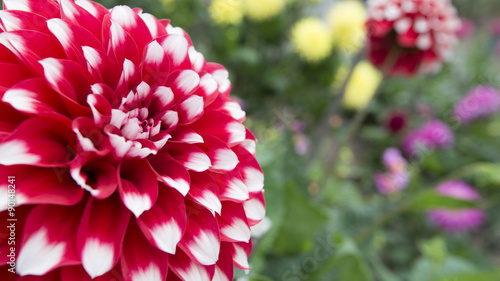 In de dag Dahlia Close-up of a large red and white dahlia blossom in a flower bed. Right half of frame is out of focus flowers and foliage.