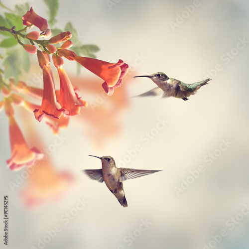 Photo  Ruby Throated Hummingbirds