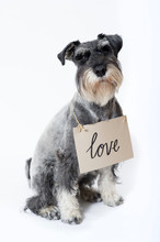 Schnauzer Dog With A Love Sign...