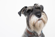 The Wise Schnauzer Dog