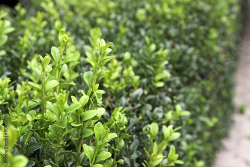 Foto  Boxwood bush