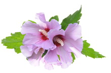 Violet Hibiscus Flowers With Green Leaves Isolated On White Background