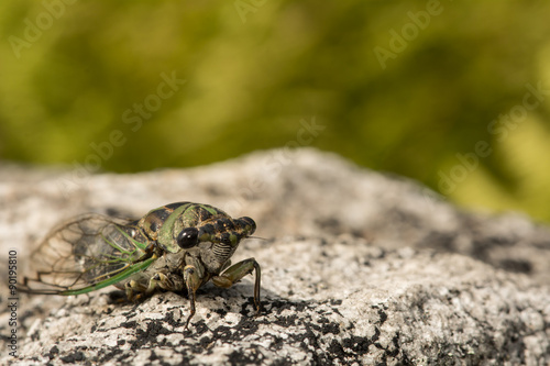 Fotografering  Annual Dog-day Cicada