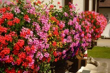 Beautiful Geraniums On A Balcony