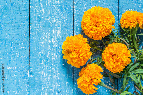 Fotografía  Orange marigolds on a blue wooden background