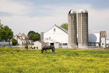 Horses Grazing In Yellow Field...