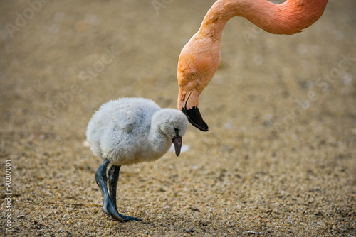 Cadres-photo bureau Flamingo Baby bird of the American flamingo with its mother.