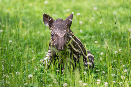 Fotografie, Obraz  Baby of the endangered South American tapir