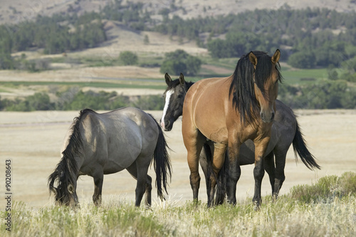Horse known as Casanova, one of the wild horses at the Black Hills Wild Horse Sa Plakát