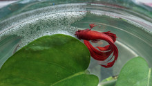 Close Up Male Red Siamese Fighting Fish And Bubble Nest On The S