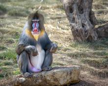 Colorful Male Mandrill Monkey ...