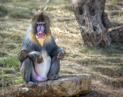 Colorful male mandrill monkey looking in camera