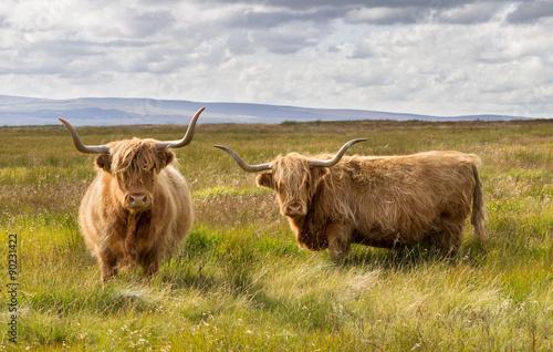 Fototapeta Pair of Highland Cattle obraz