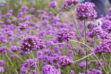 Soft Focus Verbena Flower In G...