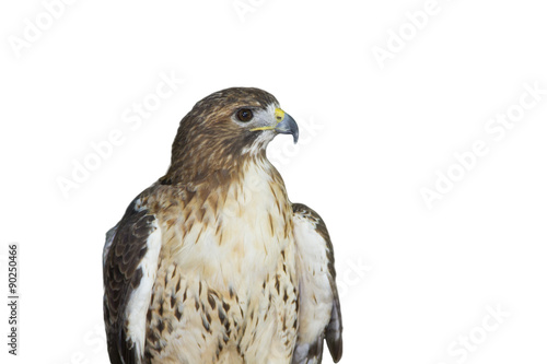 Hawk isolated on white background Poster