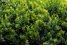Green Shrub In The Garden For Background And Perspective.