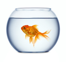 Goldfish In A Fishbowl Isolate...