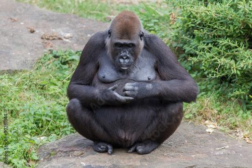 fototapeta na lodówkę Adult gorilla resting