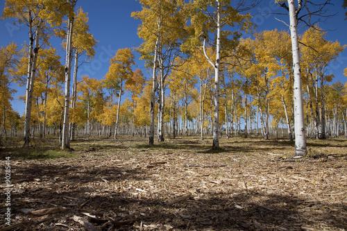 Photo  Aspen trees change color on Hastings Mesa, Ridgeway Colorado.
