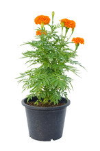 Marigold Flower In Pot Isolate...