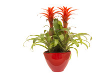 Red Bromeliad Plant In A Red F...
