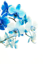 Blue Blooming Orchid Flowers On A White Background