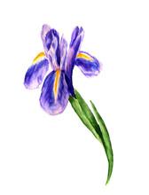 Flower Of Iris