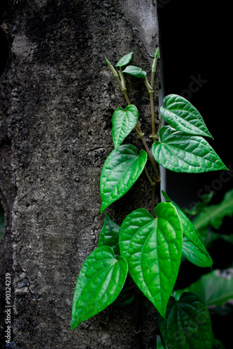Green Betel growing on the wall