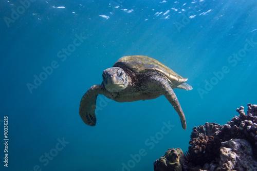 Foto op Aluminium Schildpad Turtle Facing