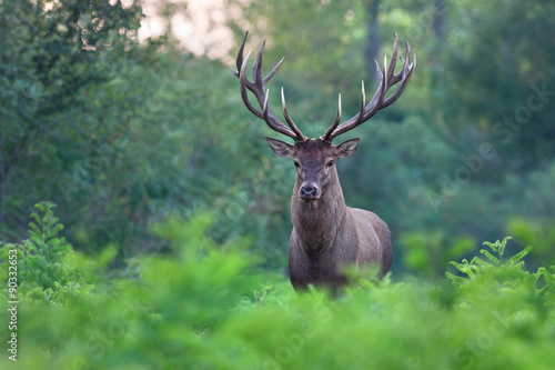 Recess Fitting Deer Great red deer stag in a forest.
