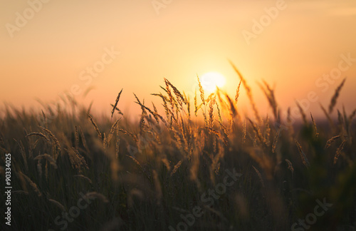 Dried weeds in Backlight. Shallow depth of field. End of Summer Atmosphere. Sunset.