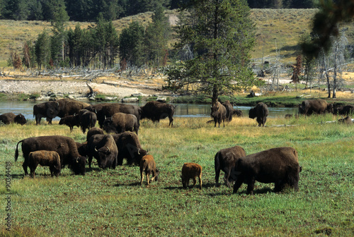 Aluminium Prints bison d'amerique, bison bison, parc national Yellowstone, Etas Unis