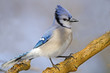 Blue Jay standing on a branch