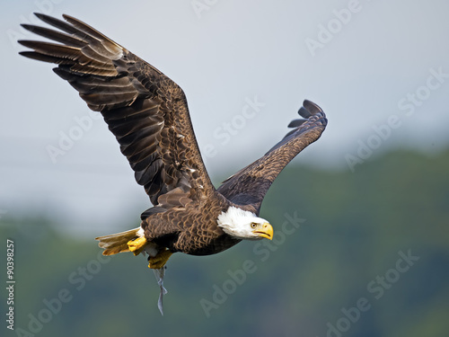 Poster Aigle American Bald Eagle in Flight with Fish