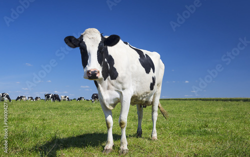 Photo Stands Cow cow on green grass with blue sky