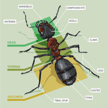 Diagram Of An Ant