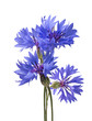 canvas print picture - Big bluet cornflower isolated on white background