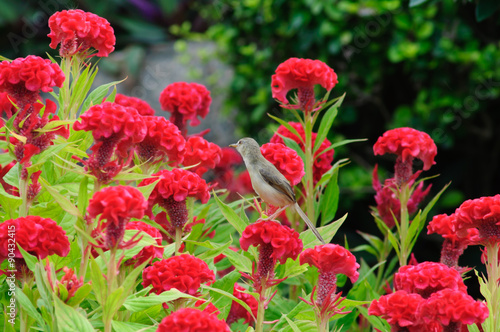 Fotografie, Obraz  Brid on Cockscomb colorful flowers in the garden